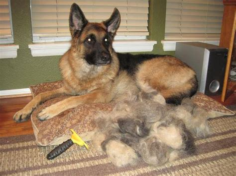 How To Stop German Shepherd From Shedding by Top 10 Worst Shedding Breeds To Own The Digest