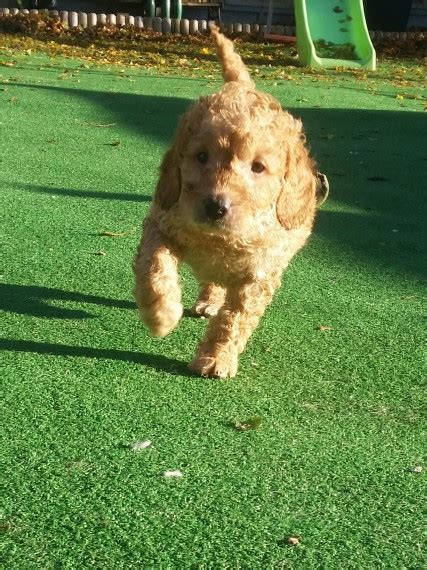 miniature golden retriever for sale uk stunning miniature goldendoodles weston mare somerset pets4homes