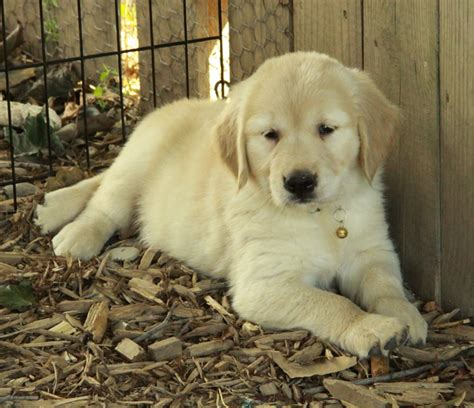 miniature golden retriever ontario puppy sale ontario merry photo