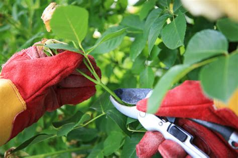how to prune your roses for stunning results the garden