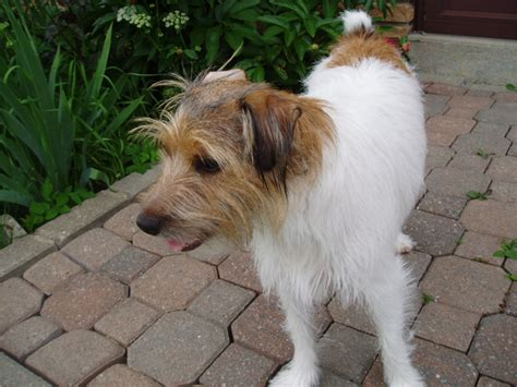 haircut ideas for long hair jack russell dogs file pinkyjrt wb2 jpg wikipedia