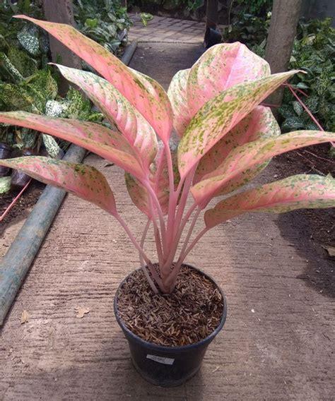 jual tanaman aglaonema pink lady bibitbungacom