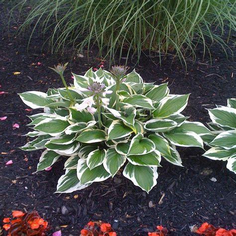 Home Depot Garden Plants by Sun Non Flowering Perennials Garden Plants