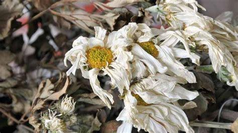 Vertrockneten Rasen Retten by Wiederbelebung Im Sommer Verdorrte Pflanzen Retten