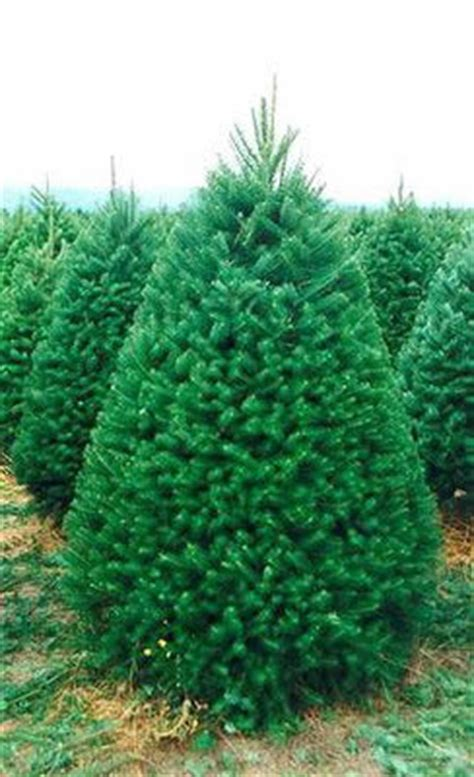 what is the most fragrant fir tree for christmas our trees tree farms inc