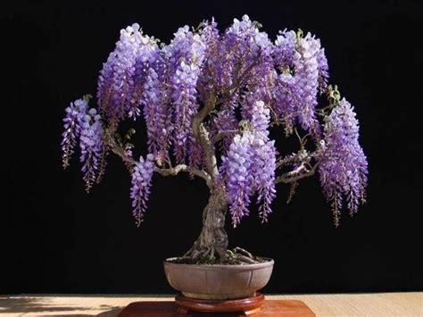 pianta lilla in vaso glicine in vaso piante da terrazzo come coltivare il