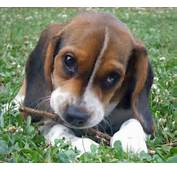 Beagle Dogs  The Dog Wallpaper Best
