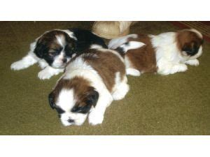 shih tzu breeders maryland shih tzu breeders in maryland assistedlivingcares