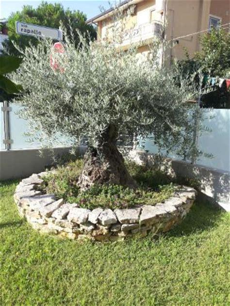 giardino con ulivo pianta di ulivo posta nel giardino foto di bed