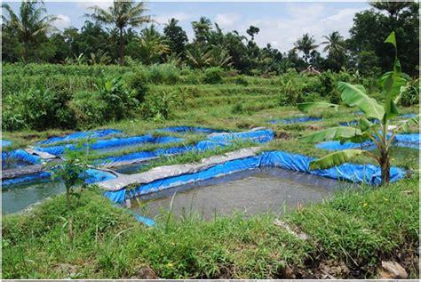 Bibit Lele Gorontalo budidaya lele kolam terpal bibitikan net