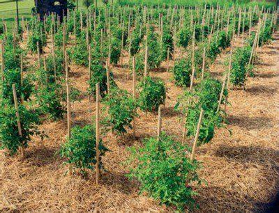 come piantare i pomodori in vaso 78 idee su coltivazione pomodori su coltivare