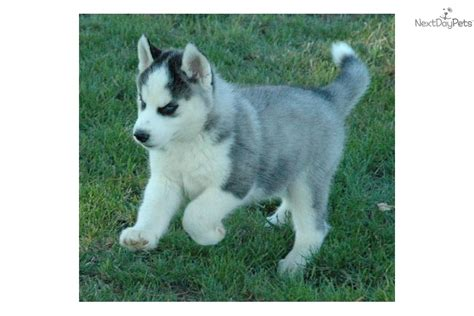 husky puppies for sale in missouri siberian husky for sale for 500 near kirksville missouri 9d08b3b1 d541
