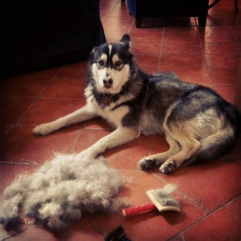 Husky Shed by Shedding What To Expect And How To Manage It American Kennel Club