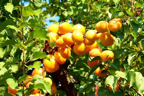 apricot fruit trees u apricots at d l acres and an apricot smoothie