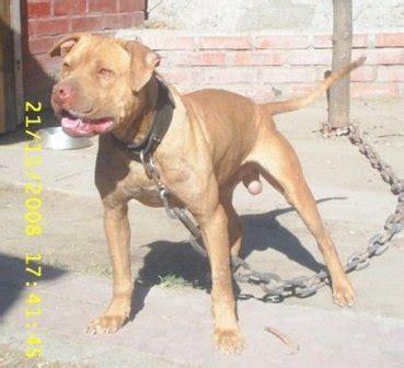 puppy pride kennel pedigrees 287884 pride kennel s viejo lecter