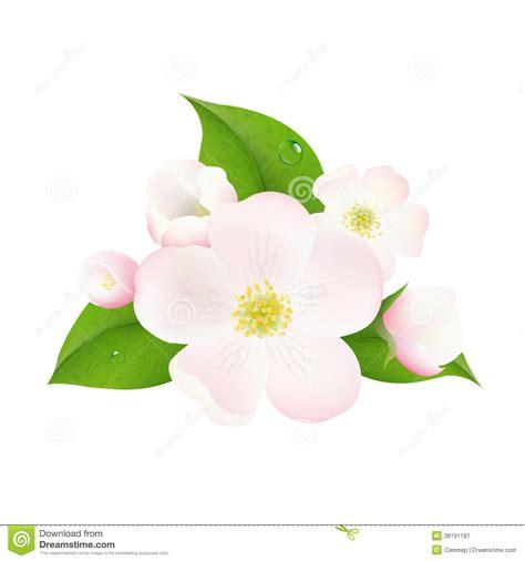 fiori di melo fiori di melo illustrazione vettoriale illustrazione di