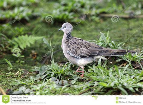 Harga Dove Ultimate dove indonesia spotted dove streptopelia chinensis stock
