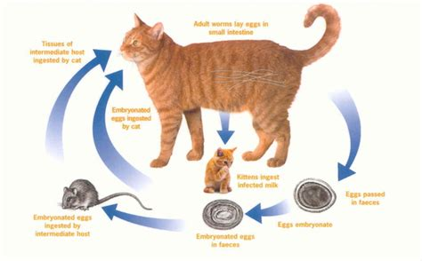 how do dogs get roundworms what do roundworms look like in cats breeds picture