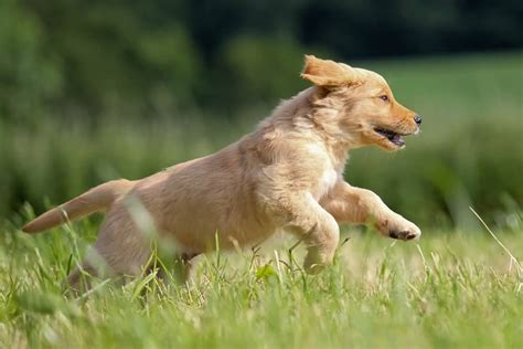 golden retriever jumping 45 most beautiful golden retriever photos golfian