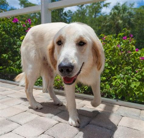 golden retriever rescue southwest florida news from golden retriever rescue of southwest florida inc
