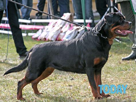 rottweiler in appartamento roma donna aggredita rottweiler si riparla di lista cani