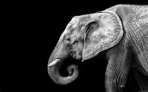 free stock photo of black and white hd wallpaper hiking fond d 233 cran elephant en noir et blanc my hd wallpapers