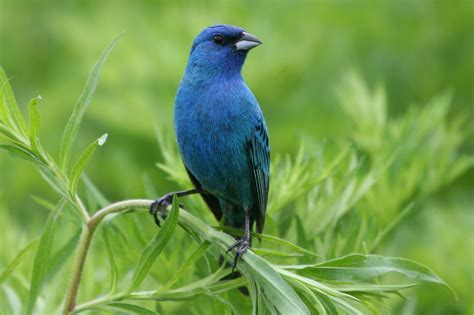indigo bunting wedding juju pinterest