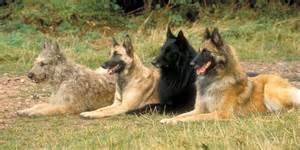 belgian sheepdog weight belgian malinois dog breed gallery