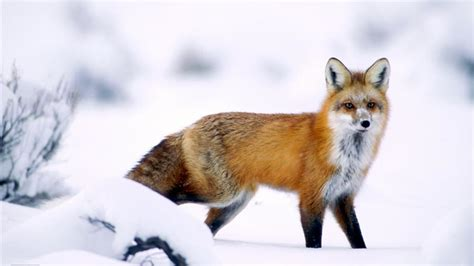 imagenes de paisajes con zorros reportajes y fotograf 237 as de zorro en national geographic