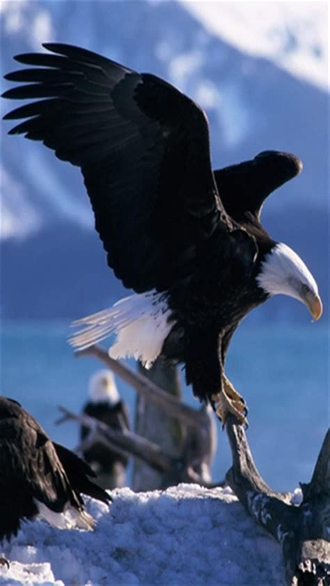 wallpaper iphone eagle american eagle animal iphone wallpapers iphone 5 s 4 s
