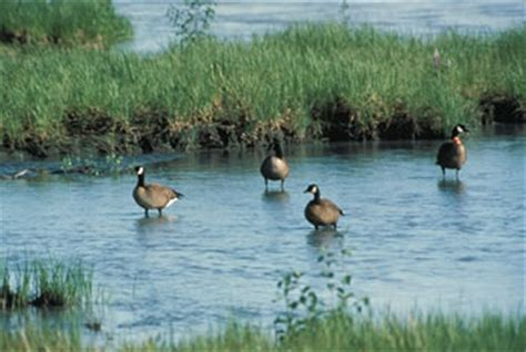 role of the willamette valley refuges in wintering geese