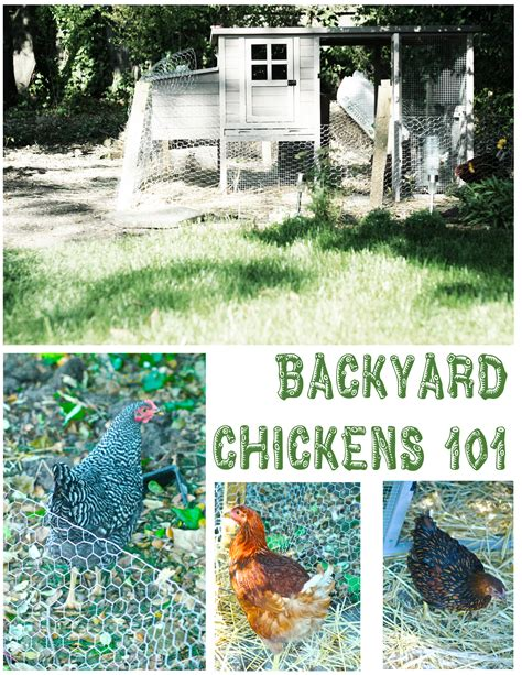 how to care for chickens in your backyard caring for chickens in backyard how to care for backyard