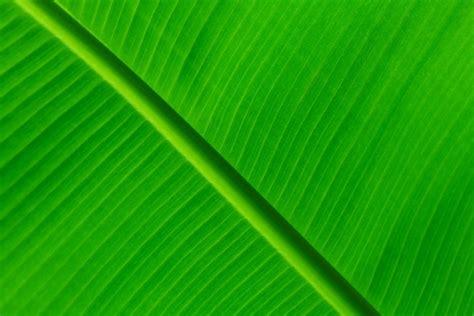wallpaper daun palma free banana leaf background free stock photos download