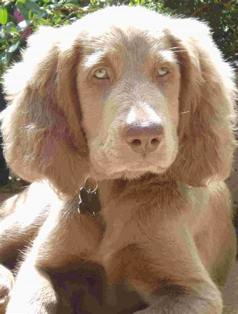haired weimaraner puppies weimaraner longhair breed information history health pictures and more