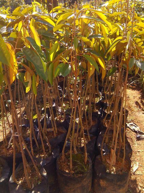 penangkar bibit durian unggul black torn duri hitam