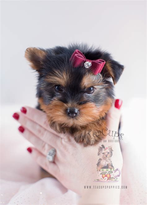 yorkie puppies for sale south florida yorkie puppies for sale south florida teacups puppies boutique
