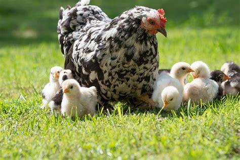 st charles chamber of commerce april 28 backyard chicken