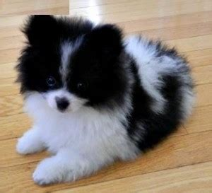 black and white teacup pomeranian black and white teacup pomeranian www pixshark images galleries with a bite