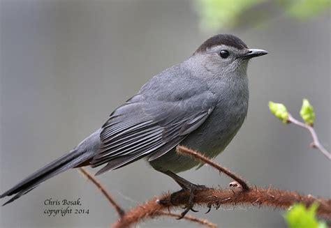 gray catbird birds of new england com