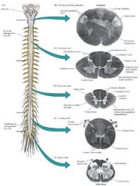 cross section of spinal cord at different levels neuroanatomy chapter 6 flashcards cram com