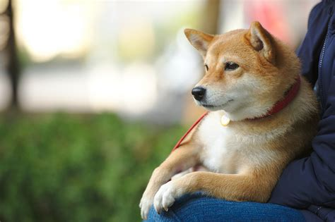 dogs that look like huskies chihuahuas that look like huskies breeds picture
