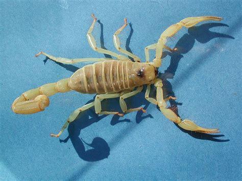 scorpions desertusa