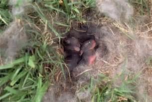 Baby Bunnies In Backyard - wildlife rehab clinic high ridge mo education rabbit