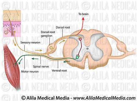 diagram of the reflex arc polysynaptic reflex arc diagram images