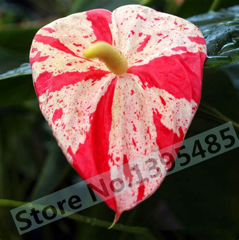 24kinds rare african anthurium seed anthurium andraeanu online buy wholesale anthurium seeds from china anthurium