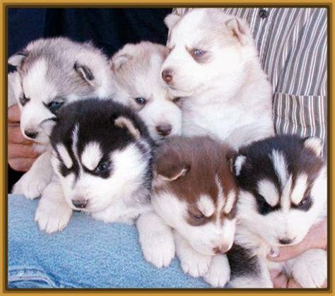 imagenes de animales lobos ver imagenes de perros lobos cachorros archivos imagenes