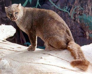 imagenes jaguarundi jaguarundi facts big cat rescue