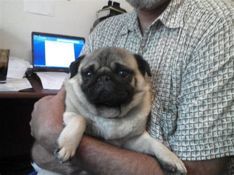 pug rescue pug rescue driverlayer search engine