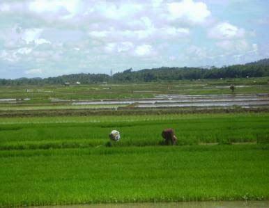 Bibit Padi Rojolele usaha menanam padi berita wirausaha