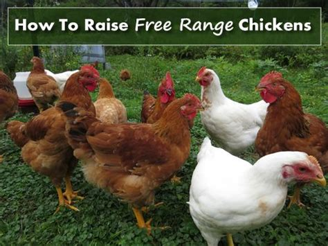 How To Take Care Of Backyard Chickens by 17 Best Ideas About Free Range On Free Range